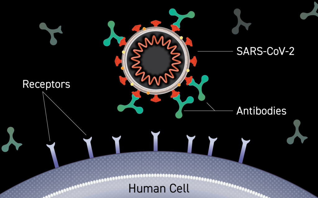 Illustration of an antibody binding to the surface of a virus, blocking entry into a person's cells.